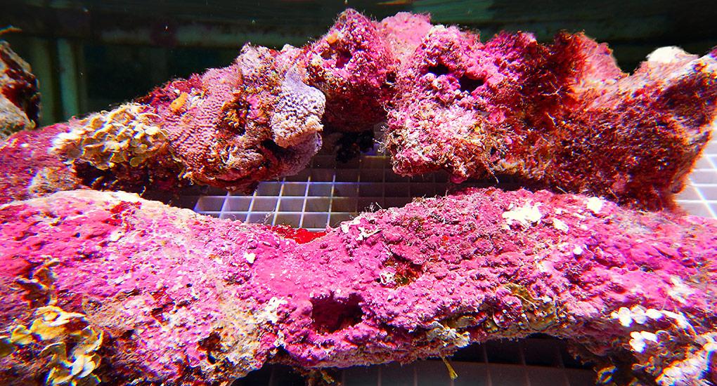 Coral Sea Pink Rock